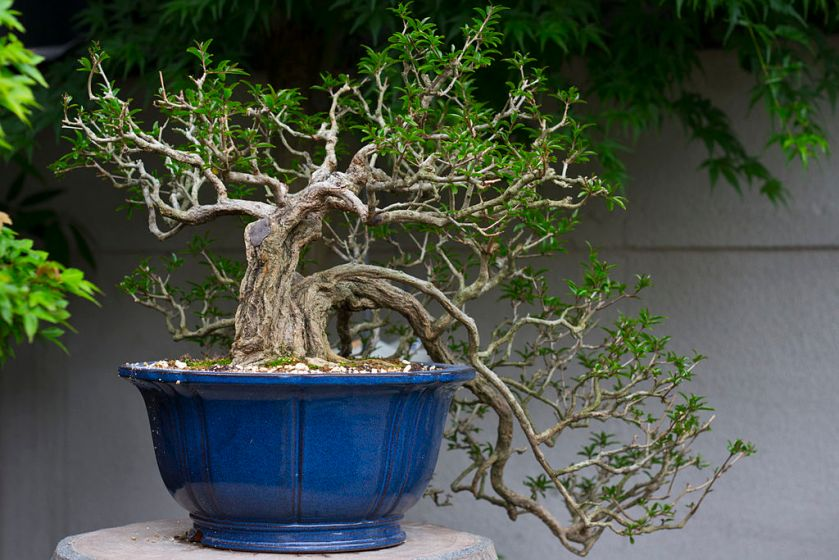 Bonsai_tree2
