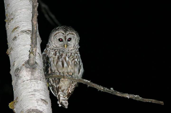 Owl perched at a tree branch at night, by Wing-Chi Poon Wikimedia Commons602862_747461441936269_1067609389_n