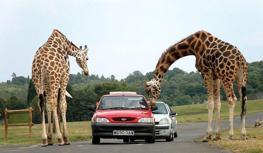 1024px-Giraffes_at_west_midlands_safari_park